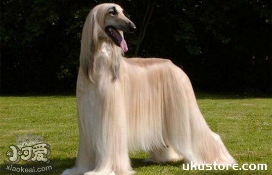 阿富汗猎犬怎么美容 阿富汗猎犬美容操作流程