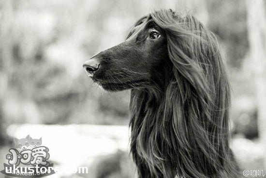 Afghan hound how to train, Afghan hound training tutorialillustration1