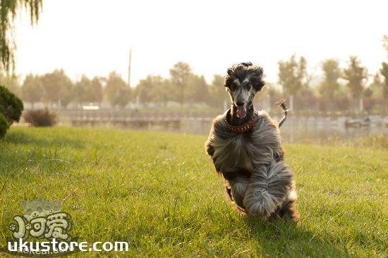 阿富汗猎犬怎么训练 阿富汗猎犬训练教程1