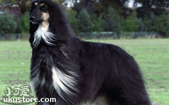 How to train in Afghan hound clothing, Afghan houndillustration1