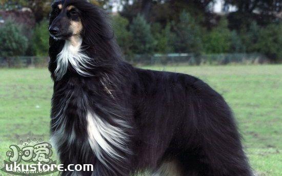 Afghan hound how to train, Afghan hound training tutorialillustration2