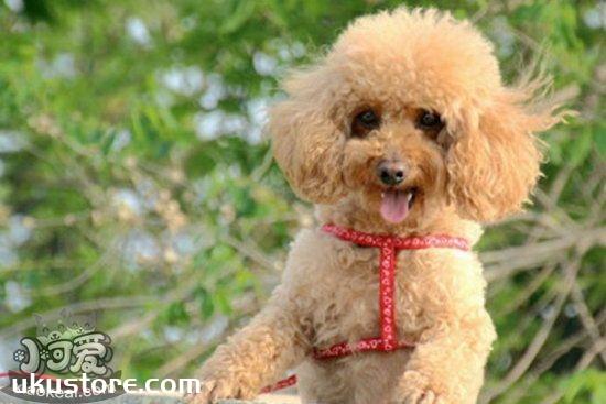 贵宾犬怎么训练 贵宾犬训练教程1