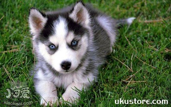 How to raise Siberian Sled Dog Feeding Methodillustration1
