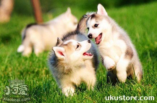哈士奇怎么养 西伯利亚雪橇犬饲养方法1