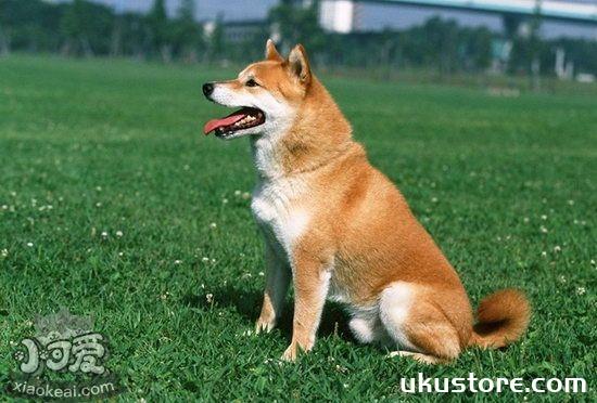中华田园犬什么东西不能吃 土狗不能吃的食物介绍1