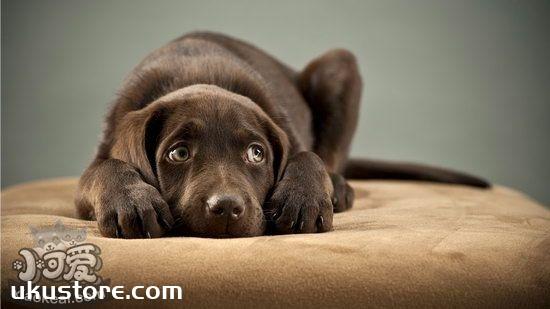 How to train Labrador Training to the toilet, Labrador Multi-Dimensional Training Methodillustration1