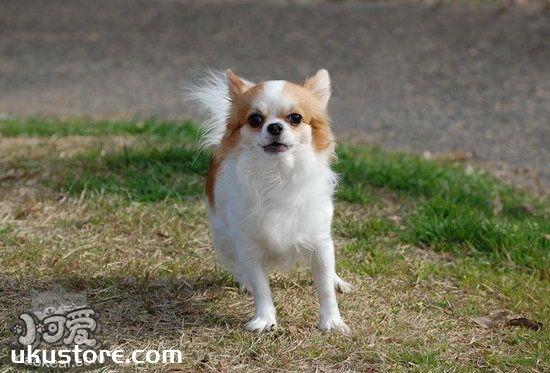 吉娃娃幼犬什么时候开始训练 吉娃娃最佳训练时间注意事项