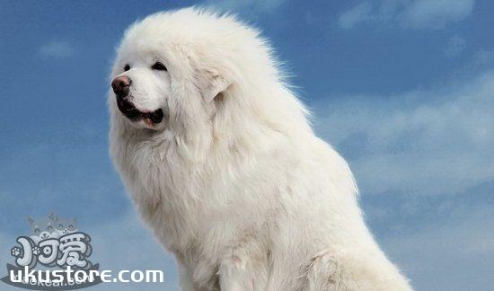 How to train Tibetan Mastiff, Tibetan Mastiff Training Video Tutorialillustration1