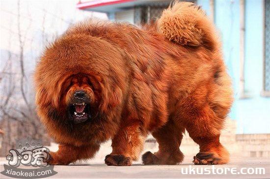 How to raise Tibetan Mastiff in Tibetan Mastiffillustration1