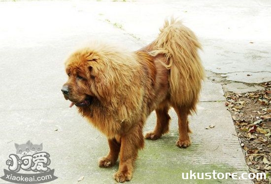 What is the big good, what is the good-long Tibetan Mastiff?illustration1