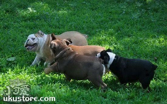 美国恶霸犬怎么训练服从性 美国恶霸犬服从性训练教程1