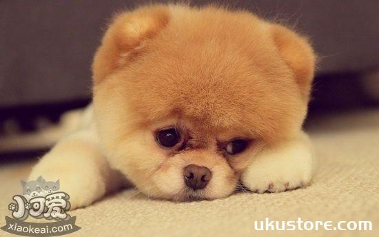 茶杯犬怎么美容 茶杯犬美容心得分享