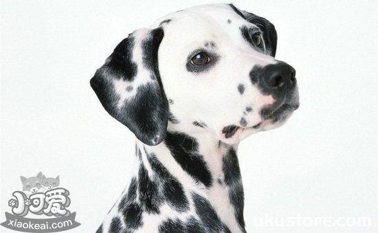 斑点狗幼犬怎么养 大麦町犬幼犬照顾心得1