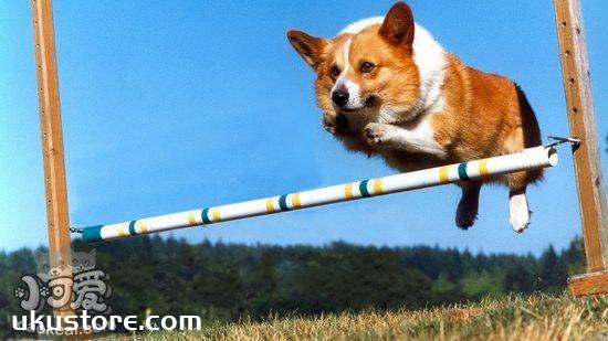 柯基乱捡吃的怎么办 柯基犬禁止乱吃地上的食物训练方法