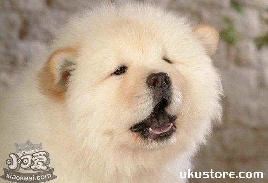 松狮犬怎么美容 松狮犬美容方法详解