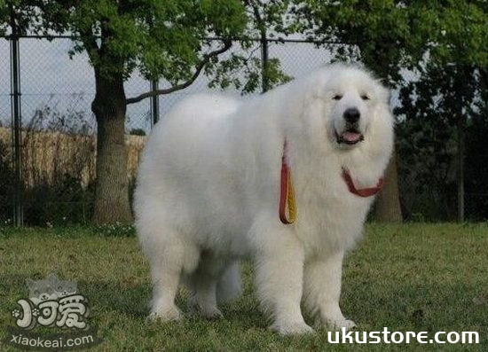 大白熊犬怎么洗澡 大白熊犬洗澡方法1