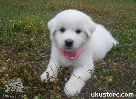 大白熊犬毛发怎么搭理 大白熊犬毛发梳理技巧1