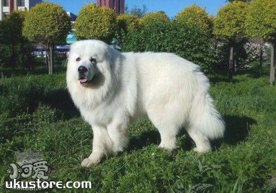 大白熊犬服从性怎么训练 大白熊犬服从性训练教程