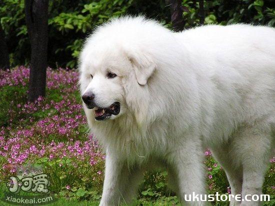 大白熊犬换毛怎么护理 大白熊犬换毛期间护理方法1