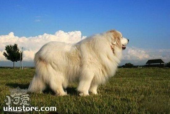 大白熊犬怎么训练出门跟随 大白熊犬跟随主人训练教程1