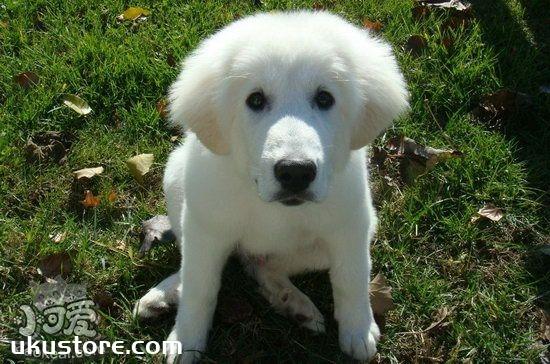 大白熊犬怎么训练大小便 大白熊犬上厕所训练方法1