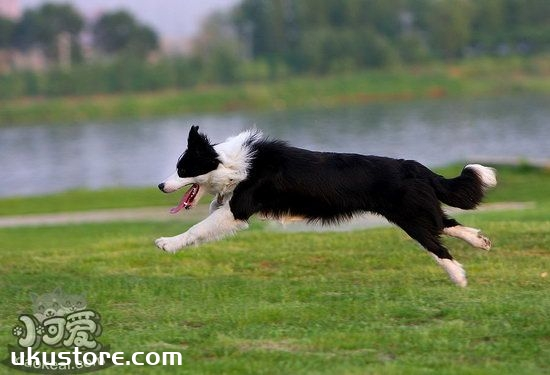 边牧怎么训练接飞盘 边境牧羊犬捡东西训练教程1