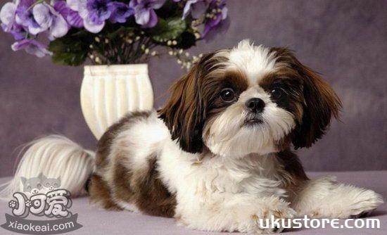 西施犬怎么美容 西施犬美容方法