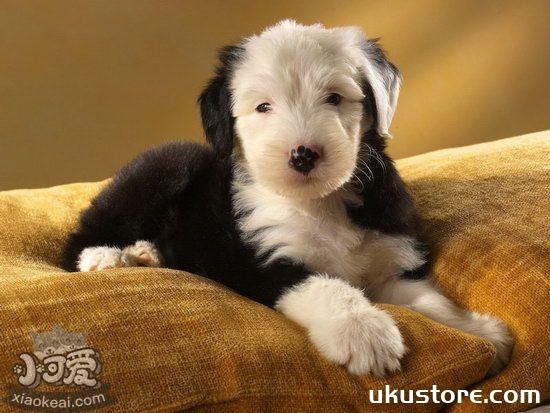 英国古代牧羊犬怎么美容 古牧美容方法介绍1