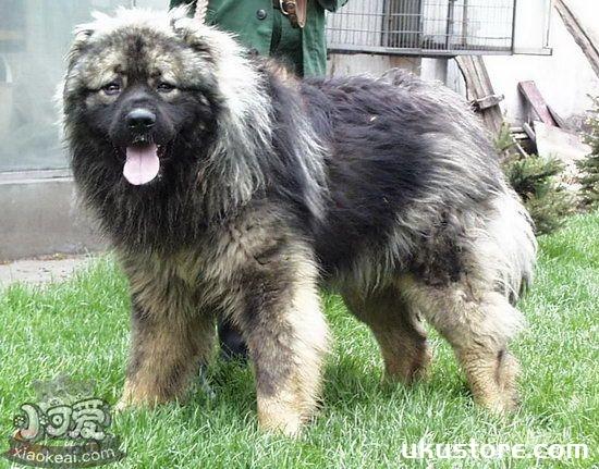 高加索犬吃什么狗粮好 高加索犬狗粮选择推荐1