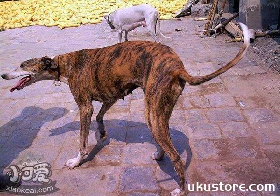 格力犬幼犬吃什么好 灵缇犬幼犬饮食注意事项1