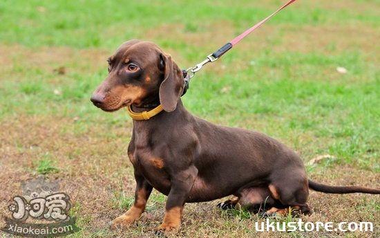 腊肠犬幼犬怎么照顾 腊肠犬幼犬饲养注意事项1