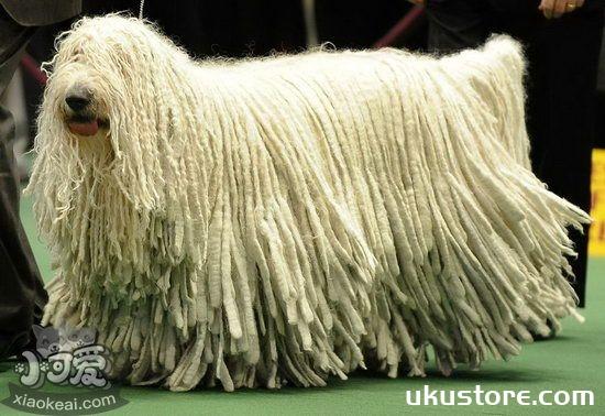 可蒙犬毛发怎么护理 可蒙犬毛发梳理修剪方法1