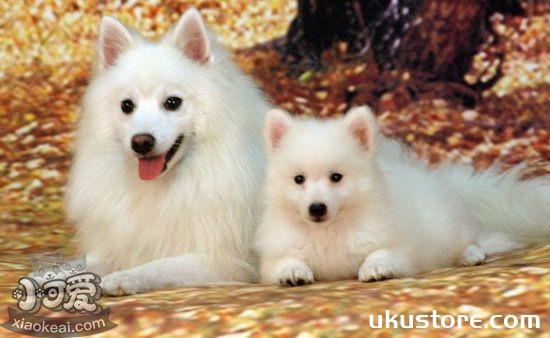 银狐犬怎么洗澡 日本银狐犬洗澡流程1