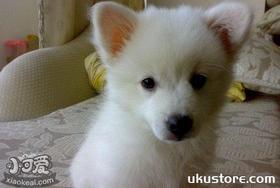 银狐犬毛发怎么养护 银狐犬毛发护理方法1