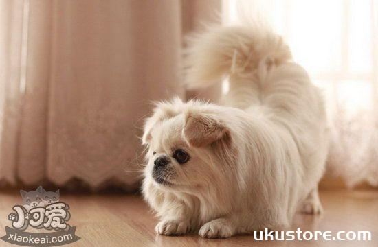 京巴犬怎么梳毛 北京犬毛发梳理方法1