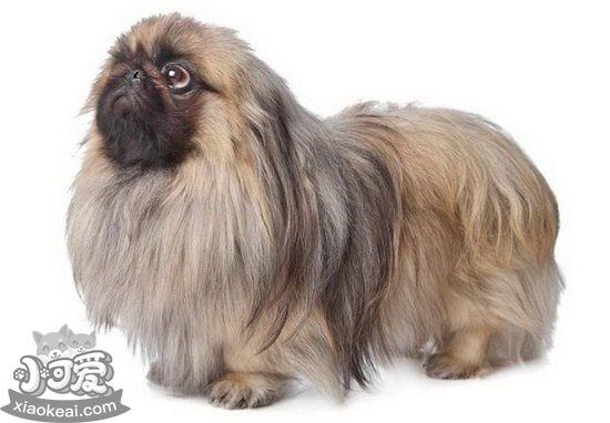京巴犬眼睛怎么护理 北京犬眼部日常护理心得1