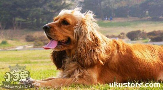 美国可卡犬怎么养 美国可卡犬饲养方法1