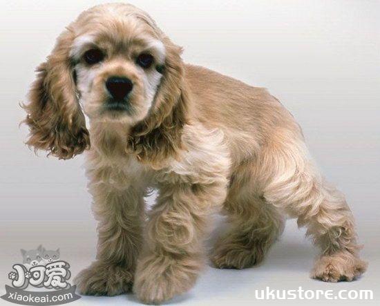 How does American cocoa puppies raise a newborn American card dog feeding methodillustration1