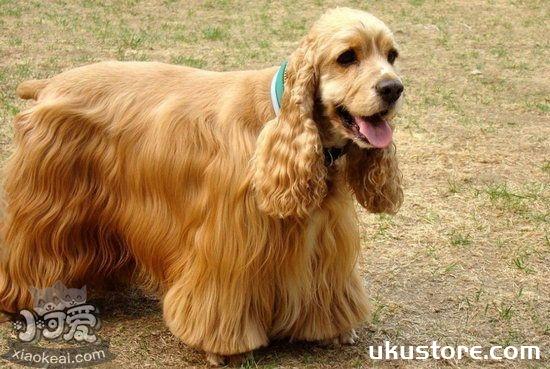 美国可卡犬怎么美容 美国可卡犬美容方法1