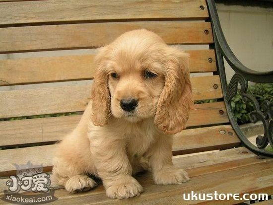 英国可卡犬幼犬吃什么狗粮好 英国可卡犬幼犬狗粮推荐1