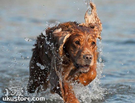 英国可卡犬怎么梳毛 英国可卡犬毛发打理方法1