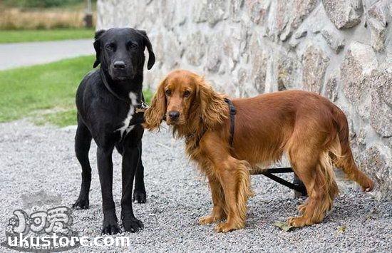英国可卡犬怎么美容 英国可卡犬美容流程1