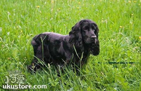 英国可卡犬怎么洗澡 英国可卡犬洗澡方法1