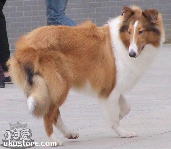 苏格兰牧羊犬怎么养 苏格兰牧羊犬饲养方法1