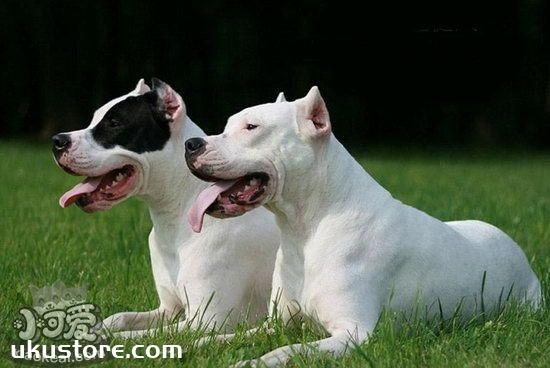 杜高犬幼犬怎么养 杜高犬幼犬饲养注意事项1