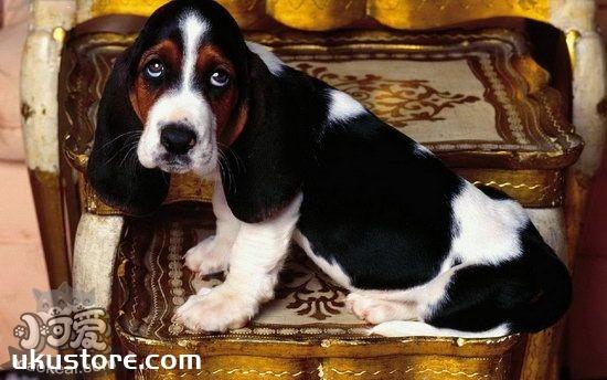 巴吉度犬毛发怎么护理 巴吉度犬毛发护理心得分享1