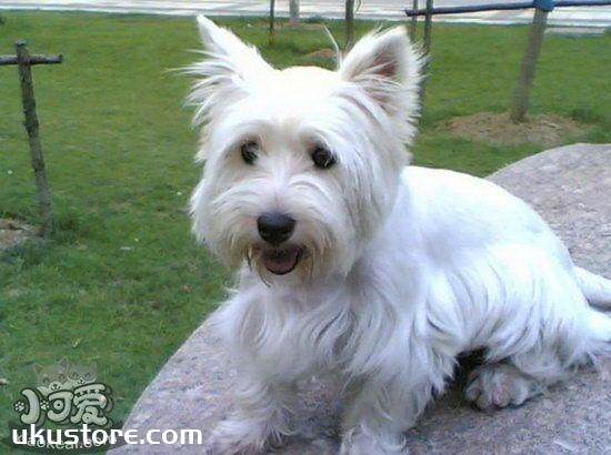 西高地白梗幼犬怎么养 两三个月的小西高地白梗喂养方法1