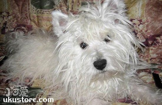 How to repair the Western Highland White Terrier, the West Highland White Temperature Repair hair tutorialillustration1