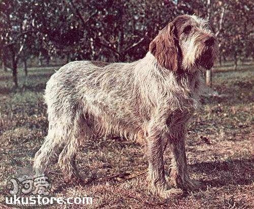 史毕诺犬怎么养  史毕诺犬饲养要点