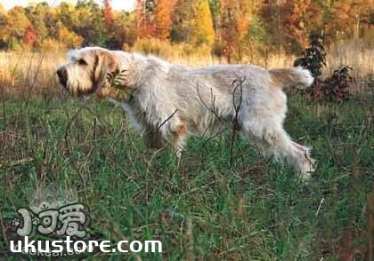 史毕诺犬不能吃什么 史毕诺犬禁忌食物介绍